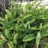 Alpinia Galangal