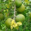 Bael Fruit