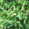 Ashwagandha Leaves