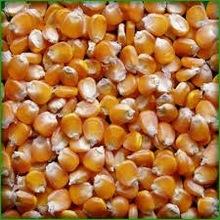Food Grade Yellow Corn