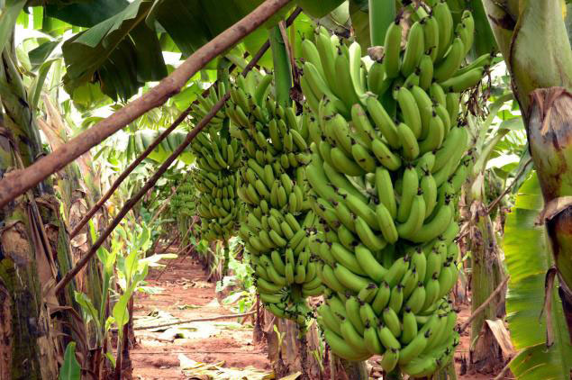 Fresh Quality Cavendish Banana (ZCW464780)