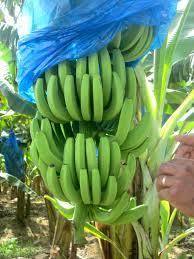 Grade A Fresh Green Cavendish Banana (NHS456789)