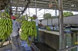 Premium Grade Fresh Green Cavendish Banana (CDWA0750566)