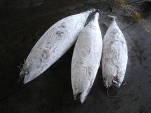 Frozen Sea Frozen Tuna