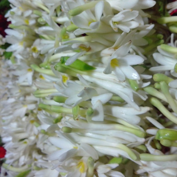 Fresh Sampangi Flowers Manufacturer in Pudukkottai Tamil