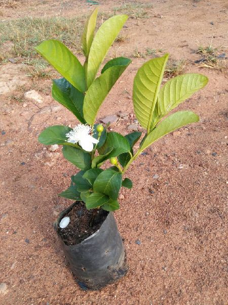 Taiwan Pink Guava Plants Manufacturer & Exporters from North