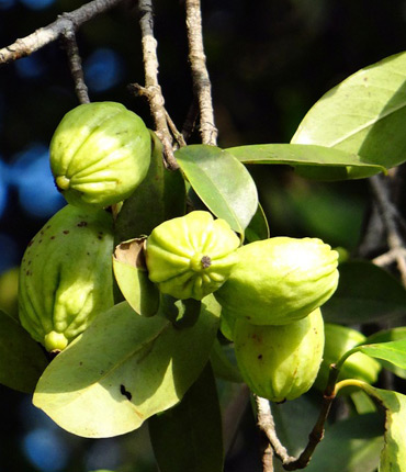 Garcinia Cambogia Manufacturer In Delhi India By Ambe Phytoextracts Pvt Ltd Id 4597526