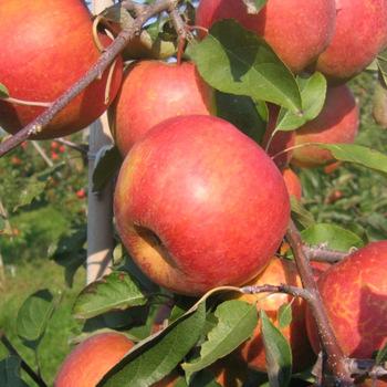 New Fresh Fruits Red Fuji Apples (002)