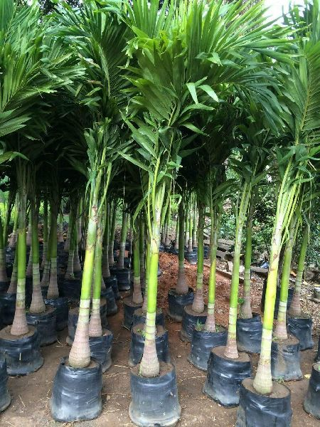 Royal palm trees Manufacturer in Kanchipuram Tamil Nadu India by ASR