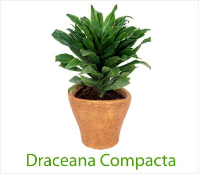 Compacta Plant