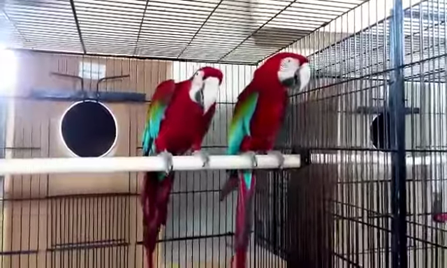 African Gray macaw and cockatoo for sale