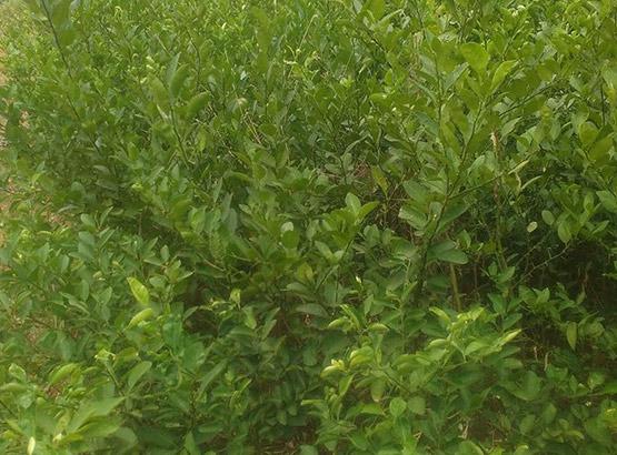 lemon tree Manufacturer in Tamil Nadu India by B S I V Farms