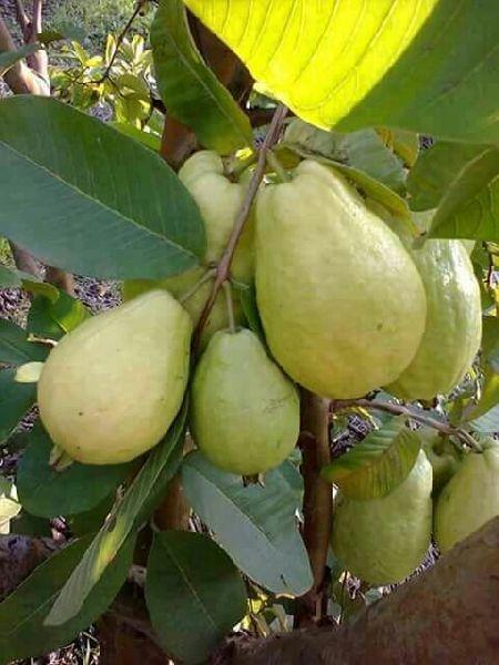 Khaja Guava Plants