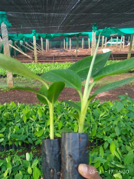 Tissue Culture G9 Banana Plant By