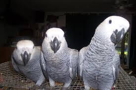 Parrots (NHR93764)