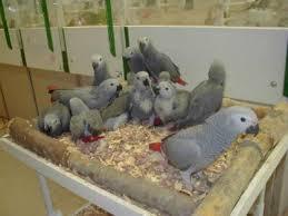 Parrots, Fertile Eggs (AGSTR40856)