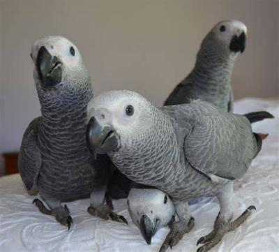 African Grey Parrot Eggs Manufacturer In Columbus United