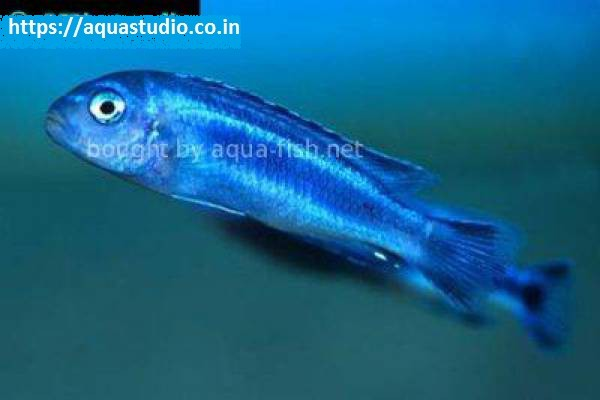 Blue johanni Fish