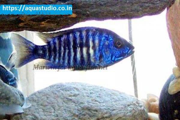 Electric blue hap Fish