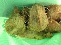 Tufted Coconuts