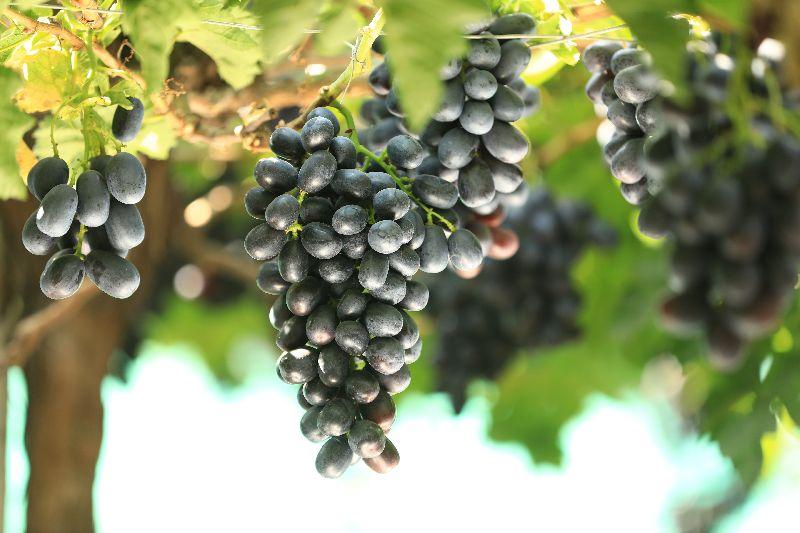 Fresh Black Jumbo Grapes
