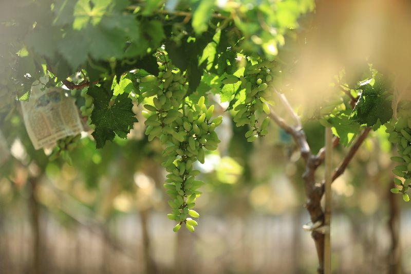 Fresh Manik Chaman Green Grapes