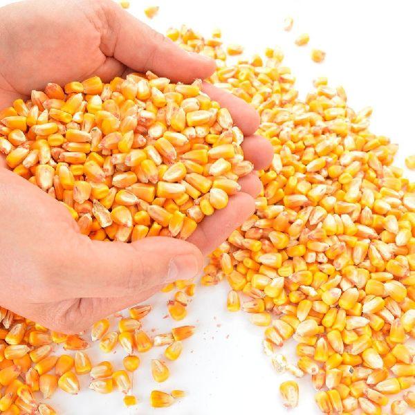 Dried Yellow Maize