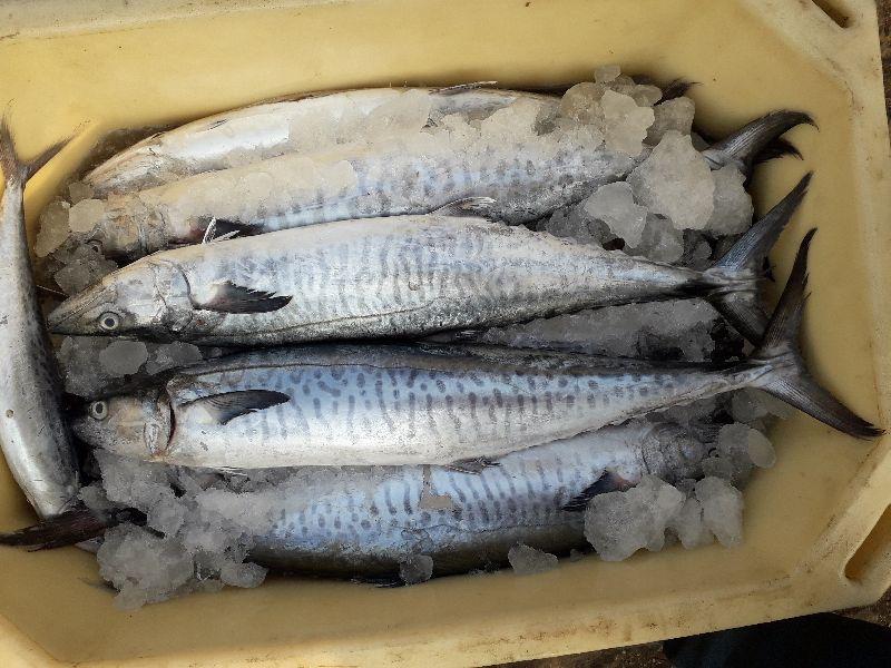 chilled sea fish