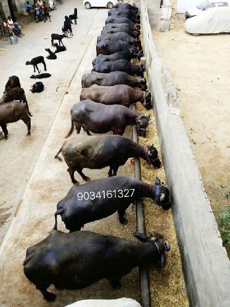 Dairy Murrah Buffalo (mb)