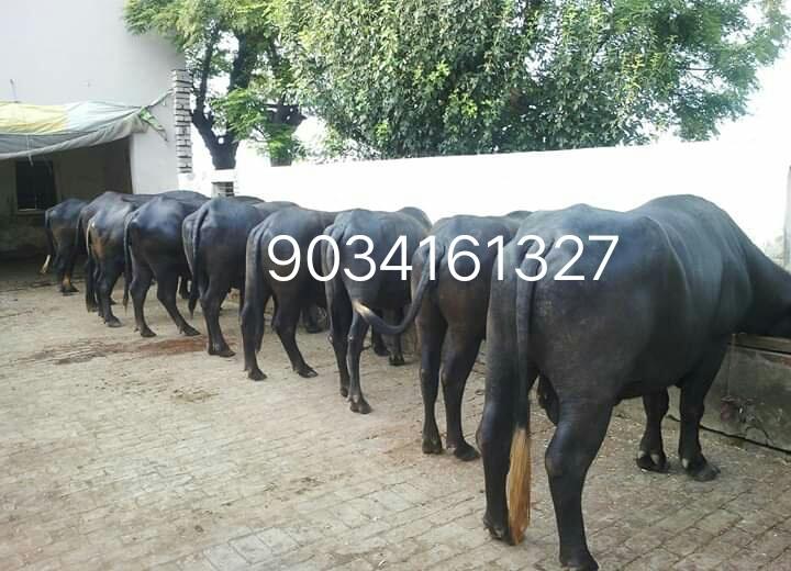 Haryana Murrah Buffalo (mb)