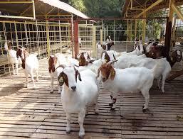 Live Goat (LIVESTOCK GOAT)