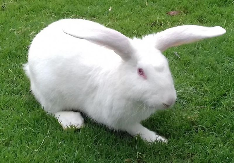 New Zealand White Rabbit Meat Manufacturer In Delhi India By