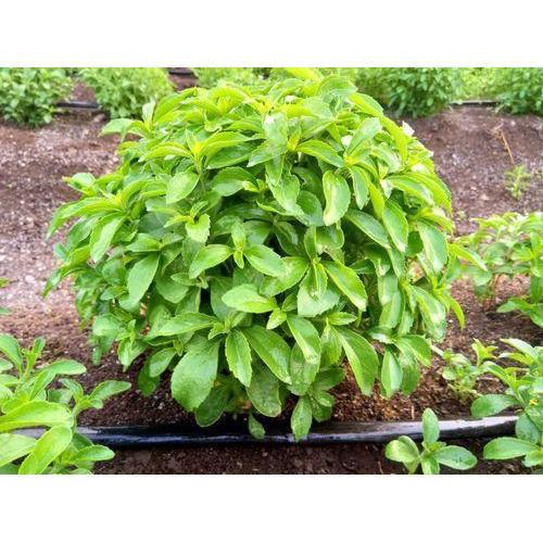 Stevia Leave-Dry