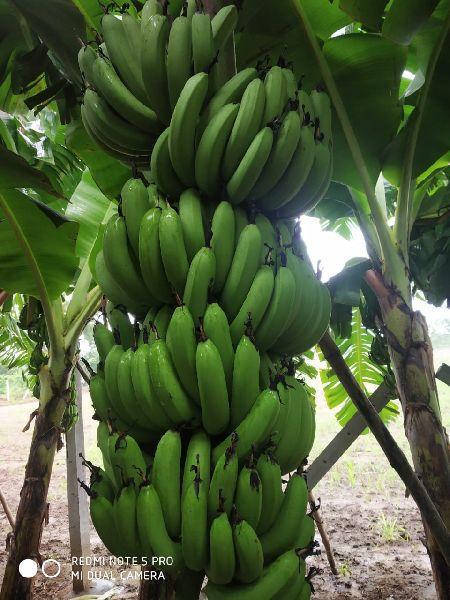 Green Cavendish Banana (HSN 08039010)