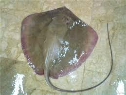 Frozen Stingray Fish