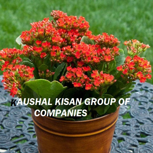 Hybrid Tea Rose Plant