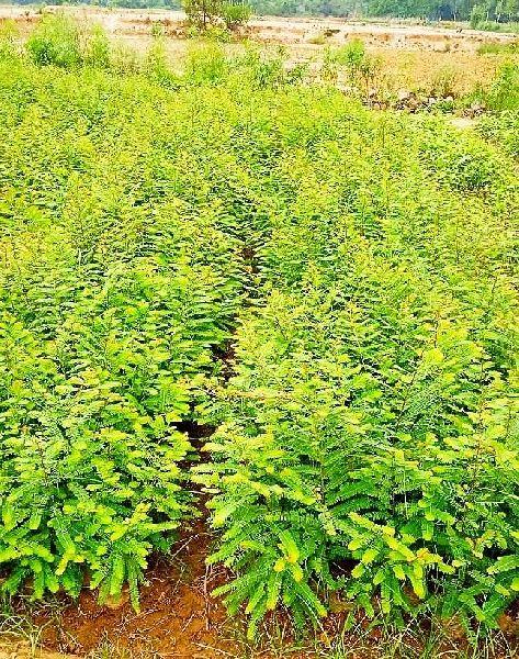 Hybrid Amla plant (85)