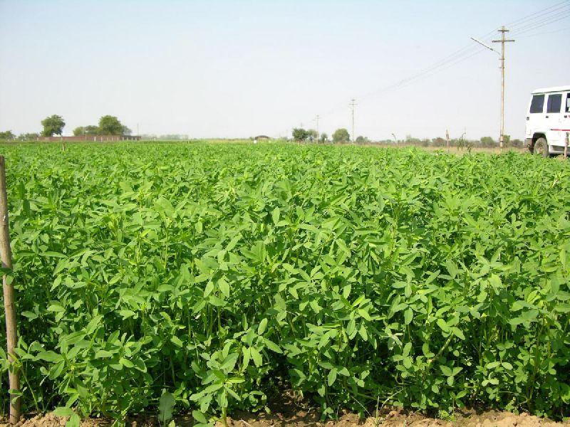 Barsim Grass Seeds