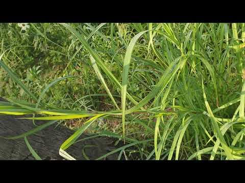 Elephant Gold Grass Seeds