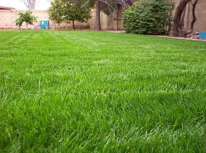 Rai Grass Seeds
