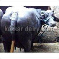 Dairy Nilliravi Buffalo (40)