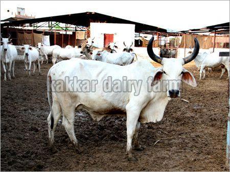 Haryana Dairy Farm Cow (KDF 14)