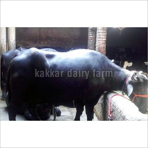 Haryana Murrah Buffalo (32)