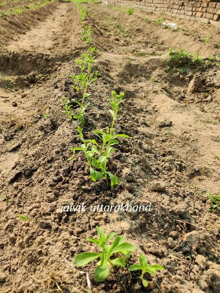 Organic Stevia Dry Leaves