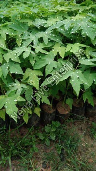 Hybrid Papaya Plant
