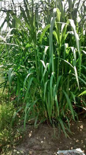 Co5 Napier Grass Seeds