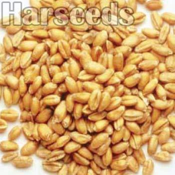 Kudrat 9 Wheat Seeds