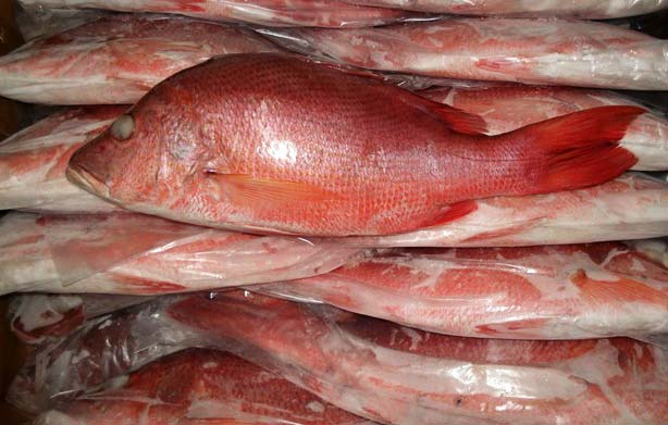 Blood Red Snapper Fish