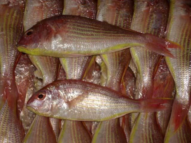 Japanese Threadfin Bream Fish