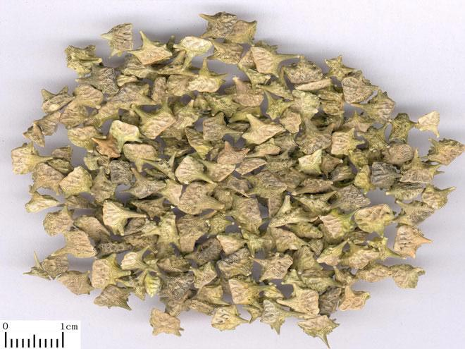 Dried Tribulus Terrestris